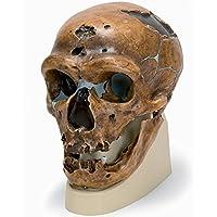 ネアンデルタール人 の 頭骨 モデル