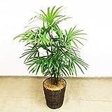 棕櫚竹 シュロチク 8号 鉢カバー付 寒さに強い 観葉植物 中型 大型 インテリア