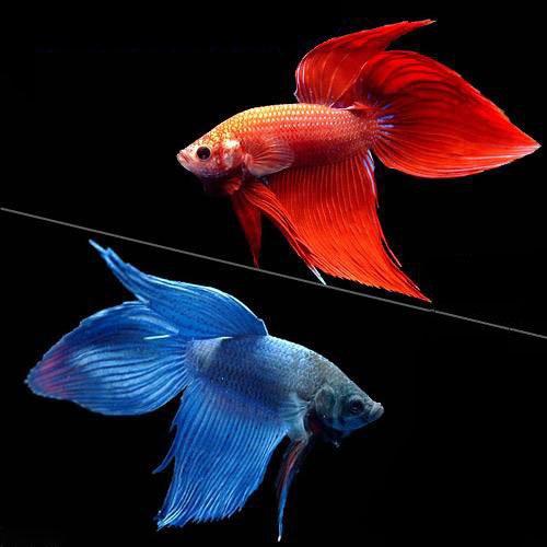 (熱帯魚)ベタ・トラディショナル 赤系+青系 2種セット(オス)(2匹)(各種1匹) 本州・四国限定[生体]