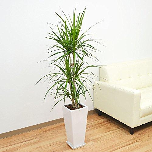 ドラセナ・コンシンネ(マジナータ) ロングスクエア陶器鉢植え 7号 ホワイト