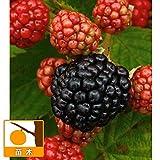 木いちご(キイチゴ):大実ブラックベリー トリプルクラウン3.5号ポット ノーブランド品