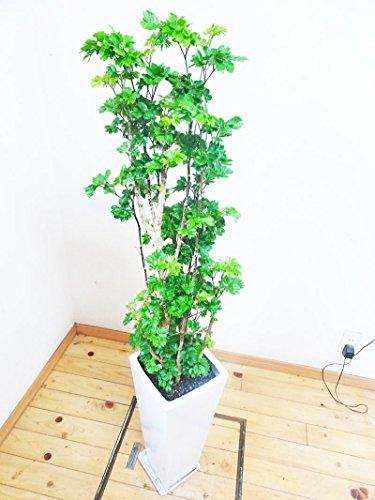【送料無料】ロングスクエア陶器鉢仕立ての小さい葉っぱが可愛いポリシャス/130cm前後(8号)