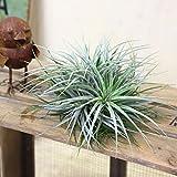 観葉植物:チランジア コットンキャンディー クランプ エアープランツ*銀葉系