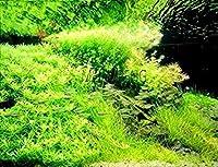 PLATのFIRM:新しいホット300個/袋の盆栽水SES Randoms屋内美化2(シーズONLY)