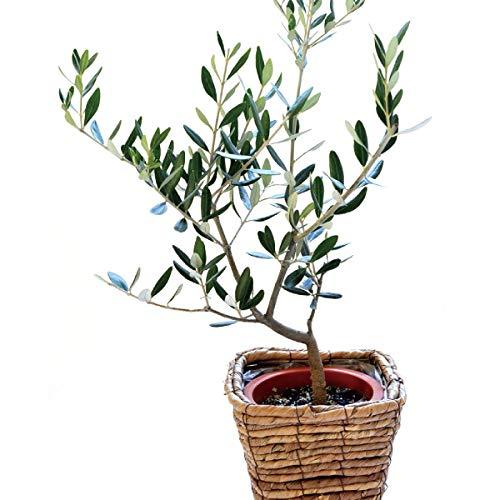 オリーブの木 5号鉢 バナナカゴ付き 茶カゴ 品種お任せ (oli5chakago)