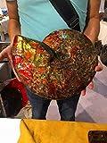 『限定商品 証明証付き カナダ産GFM 化石 アンモライト完全体! レッド&オレンジゴールド!超巨大7.0kg 370mm』画像