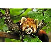 レッドパンダ動物 - #12728 - キャンバス印刷アートポスター 写真 部屋インテリア絵画 ポスター 90cmx60cm