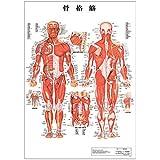 骨格筋 デスクサイズプラスチック版 (ポスター) [ 人体チャート 医学チャート 人体ポスター 人体解剖図 人体図 プラスチック版 デスクサイズ ポスター 整体用品 ]