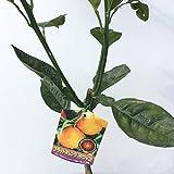 オレンジ 苗木 ブラッドオレンジ(タロッコ) 15cmポット苗 オレンジ苗