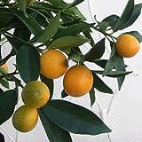 キンカン:プチマルキンカン4~5号ポット[人気の種なし金柑 柑橘・かんきつ類苗木] ノーブランド品