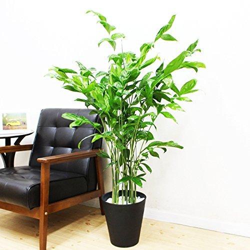 高性チャメドレア 観葉植物 ブラックセラアート鉢 ヤシの木 日...
