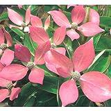常緑ヤマボウシ:レッドムーン根巻き樹高80~100cm[これまでにない赤花の常緑ヤマボウシ]