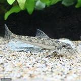 (淡水魚)カマツカ(3匹) 本州・四国限定[生体]