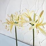 ヒガンバナ(彼岸花・リコリス):黄花(オーレア)3.5号 6株セット[なつかしい里山の花] ノーブランド品