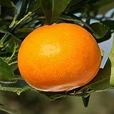 せとか4~5号ポット[2月上~下旬収穫 とろけるような甘さで人気の柑橘・かんきつ類苗木]