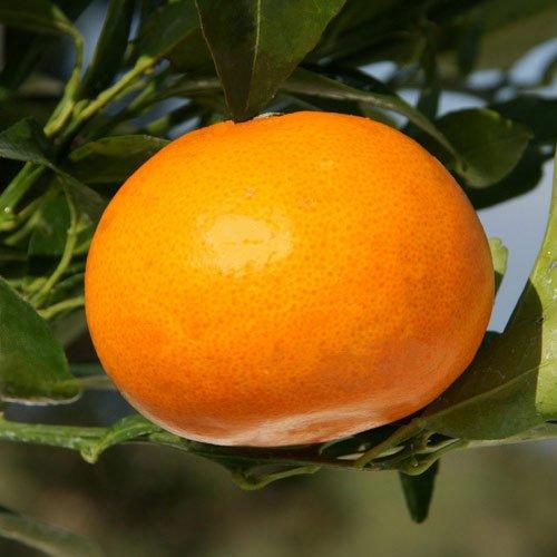 [2月上~下旬収穫 とろけるような甘さで人気の柑橘・かんきつ...