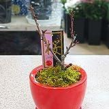 桜(さくら) 陶器 鉢植え 花(つぼみ)付き 誕生日プレゼントやお祝い花 ギフト
