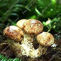 種子ZLKING 100 PCS希少な中国の特別なおいしいマツタケ盆栽有機健康キノコ自然貴重な食用菌