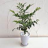 梛(ナギ)の木4号陶器鉢植え[縁結び・夫婦円満・魔よけの木 人気のスピリチュアルプランツ] ノーブランド品