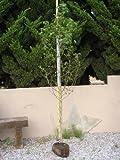 モミジバフウ 単木 樹高H:2500mm