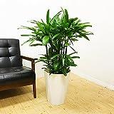 観音竹 カンノンチク スタイリッシュな白色鉢カバー付 観葉植物 中型 大型 インテリア