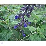サルビア アンソニーパーカー3.5号ポット 3株セット[濃紫色の花でやや大型になる宿根サルビア]