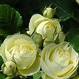 バラ苗 クリーミーエデン 国産大苗6号スリット鉢 フロリバンダ(FL)四季咲き中輪 緑系