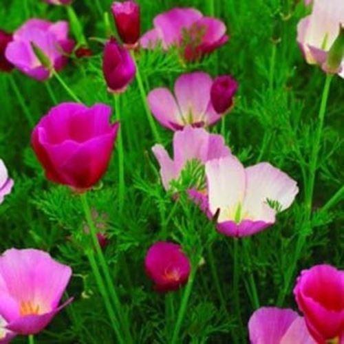B)10000個の種子:Outsideprideカリフォルニアポピー紫の煌きの花の種