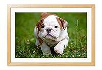 かわいいブルドッグ 動物の写真木製額縁アートポスター(40cmx60cm 原色)