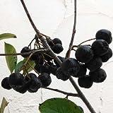 【ノーブランド品】アロニア:メラノカルパ4~4.5号ポット[チョコレートベリー 花・実・紅葉が楽しめる花木]