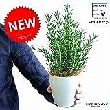 LAND PLANTS ローズマリー 白色プラスチック鉢セット 4号 立性 樹高:約30cm