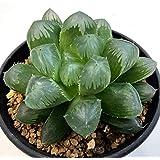 多肉植物:ハオルチア 選抜オブツーサ*M