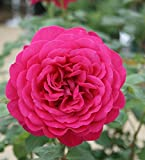 バラ苗 ゲーテローズ 国産大苗6号スリット鉢 ハイブリッドティー(HT) 四季咲き大輪 赤系