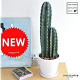LAND PLANTS 【観葉植物】 柱サボテン (白色シンプルデザイン陶器鉢)