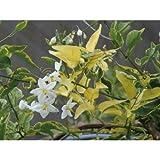 緑のカーテン ツルハナナス 蔓花茄子(斑入) 白花 常緑つる性低木