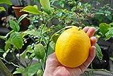 ■限定販売■レモンの木 リスボンレモン2年生 接ぎ木 ロングスリット鉢苗 果樹苗木 果樹苗 れもん 檸檬