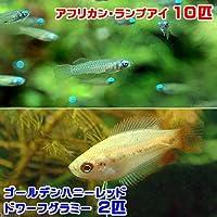 charm(チャーム) (熱帯魚) アフリカン・ランプアイ(10匹) + ゴールデンハニーレッド・ドワーフグラミー(2匹) 【生体】