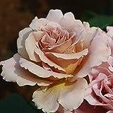 バラ苗 カフェラテ 国産大苗6号スリット鉢 ハイブリッドティー(HT) 四季咲き大輪 ブラウン系