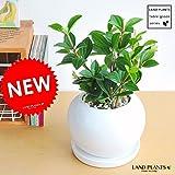 LAND PLANTS ペペロミア・フォレット 白色丸型陶器