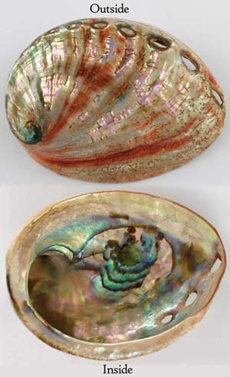 軽くご注意列挙するAzureGreen Red Abalone Shell Incense Burner Polished