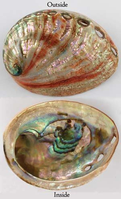 貫入壮大統計的Red Abalone Shell Incense Burner Polished
