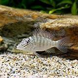 (熱帯魚)ジュルパリ Sサイズ(3匹) 本州・四国限定[生体]