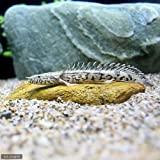 (熱帯魚)ポリプテルス・エンドリケリー・エンドリケリー Sサイズ(東南ブリード)(1匹) 本州・四国限定[生体]