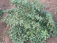 200個ホワイトハバネロペッパー種子