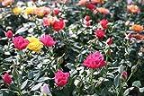 【花苗】【まとめ買い】 ミニバラ3寸鉢 おまかせ3色3ポットセット 【送料込価格】