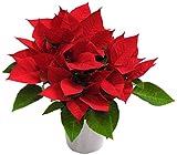 花市場直送便【クリスマス】ポインセチア 赤 5寸