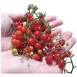マイクロトマト 種 【 赤 】 種子 小袋