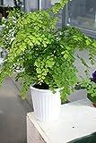 【ラッピング代込】 観葉植物 アジアンタム 5号鉢 【ギフトにも】【送料込】