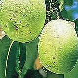 鳥取県産他西日本産 20世紀梨 約5kg 大きさお任せ 訳有り 約10~20玉
