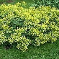 レディースマントル花の種子(Achemilla Mollis)50個の+種子